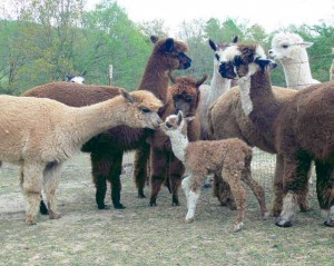 Buffalo River Alpacas