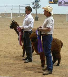 alpaca show pic