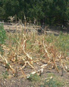 Corn destroyed