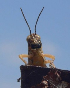 Grasshopper close up