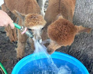 Alpacas and water