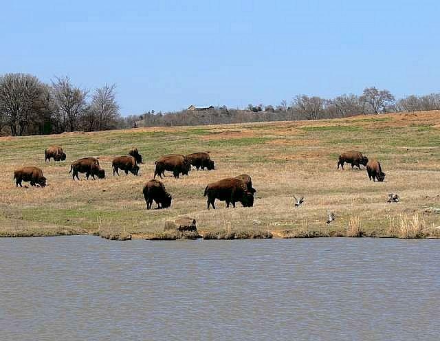 Choctaw Buffalo
