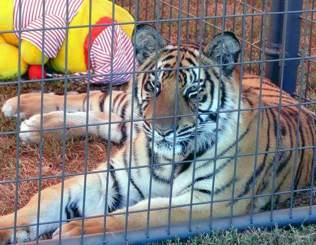 Festival tiger