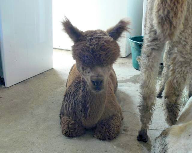 alpaca with heat stress