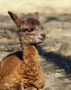 Cate a female cria