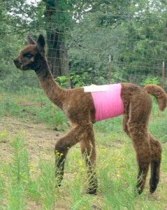 Cria with hernia wrap