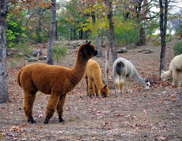 Our alpacas at Walnut Creek