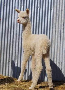 Independent cria