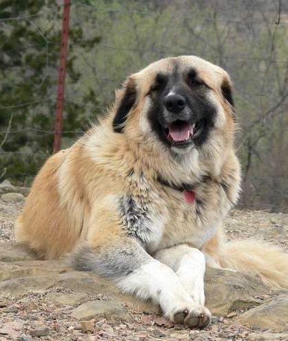 Anatolian Shepherd Leila