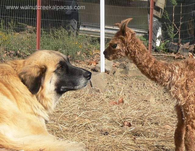 Leila loves the alpacas