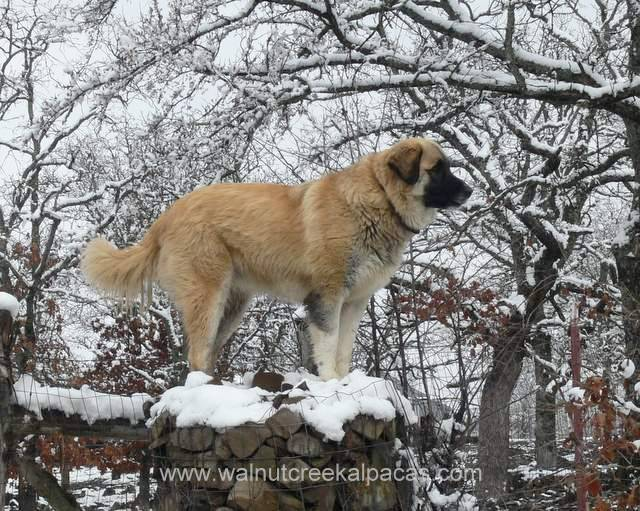 Leila livestock guardian dog