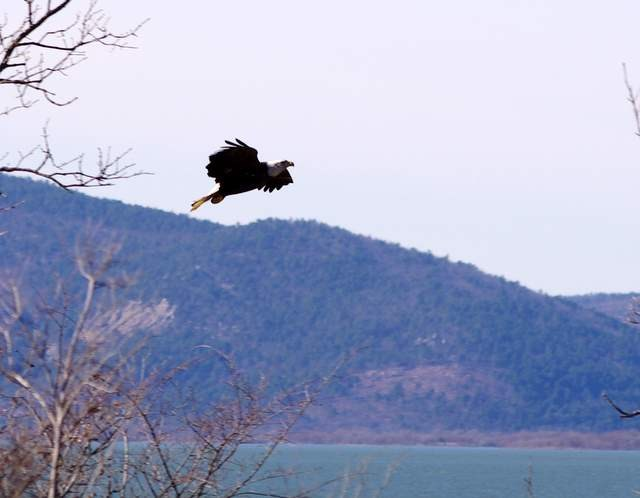 Bald Eagle at Sardis Lake