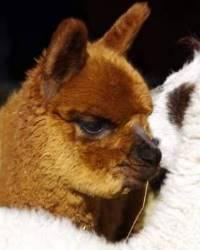 Twilight alpaca