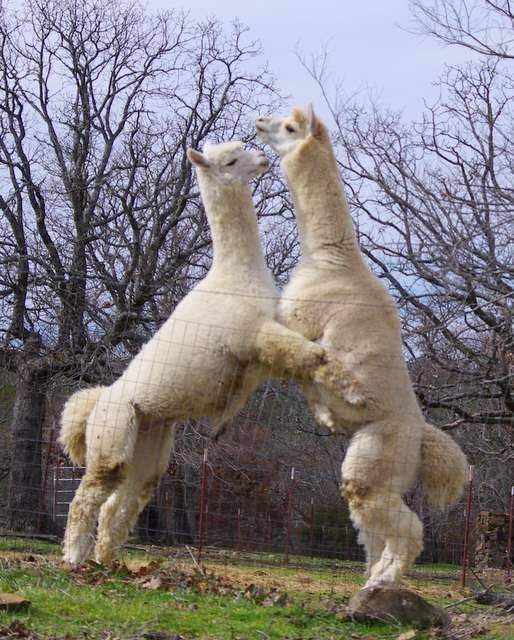 Alpaca males tango