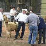 Dave at the Alpaca Show