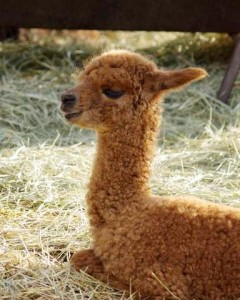 Brown Puccini cria