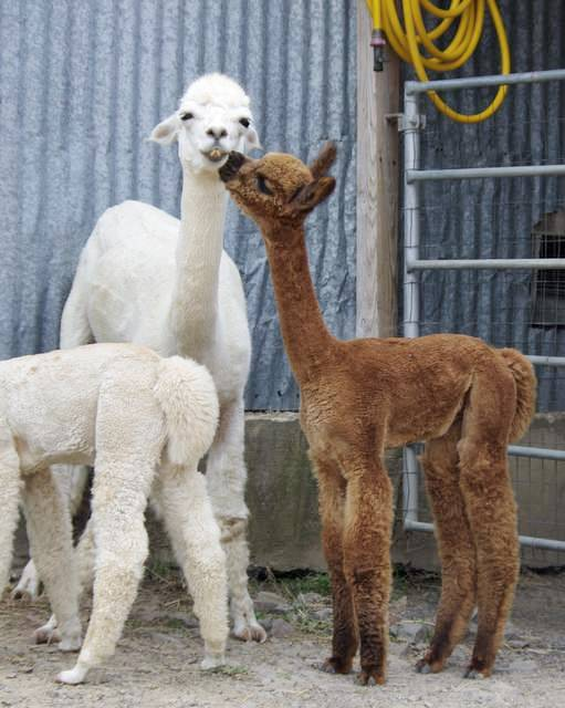 Sweet gentle alpacas