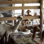 alpaca barn 150x150 Hot summer update