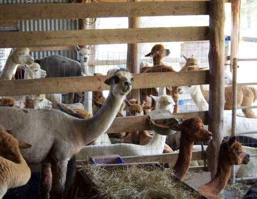 Alpaca barn packed