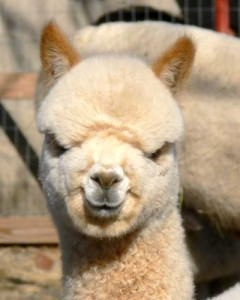 alpaca smile 240x300 Business days changed