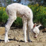 weak cria 150x150 Fall cria season starts early