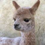 Magic alpaca cria