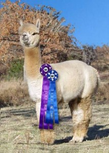 Rockefeller 214x300 Alpacas in the Ozarks