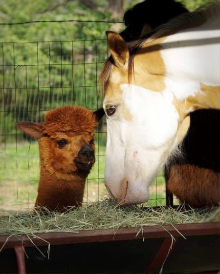 Alpaca and horse share hay
