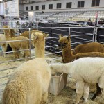 Our alpacas at the show