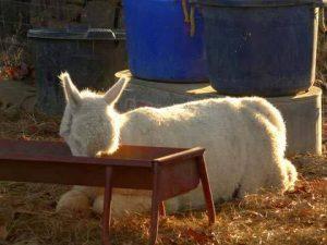 tired alpaca eating