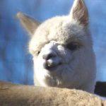 Alpaca baby face