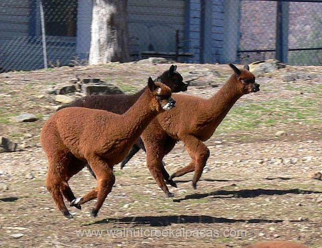 Alpacas on the run