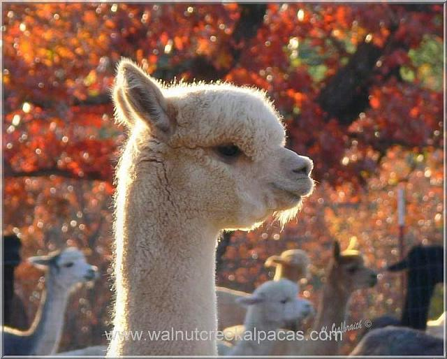 An alpaca head above the rest