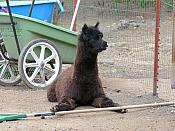 Alpaca at work