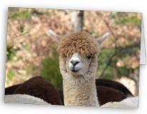 alpaca gift card