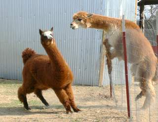 Alpaca Fencing At Walnut Creek