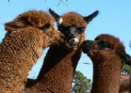 Cria Kisses photo