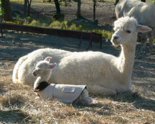 Ann and her cria