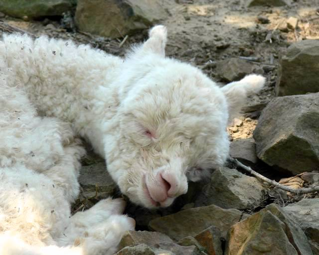 sleeping cria