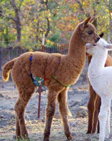Cria wearing hernia belt
