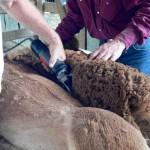 shearing alpaca blanket