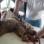 shearing front leg
