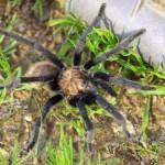 Big tarantula