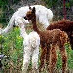 Alpaca cria tails not shorn