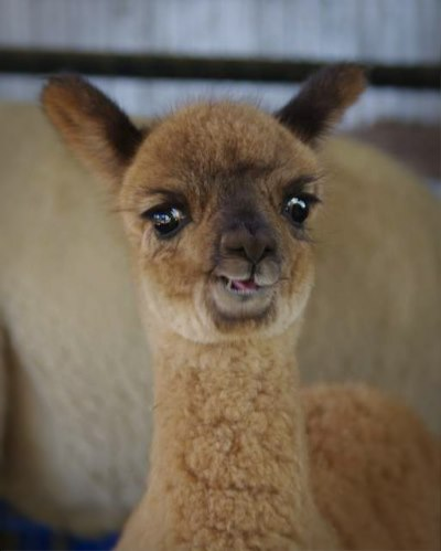 One more cria due Alpaca Blog