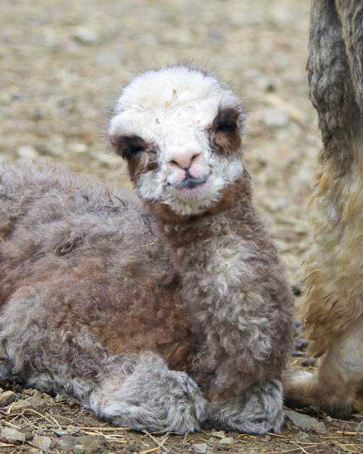 Rose grey cria