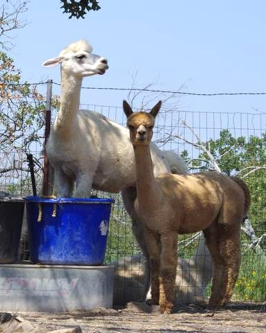 Hot alpacas