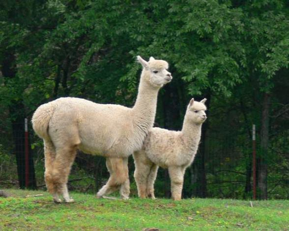 Vegas and her cria