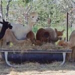 Alpaca herd mom