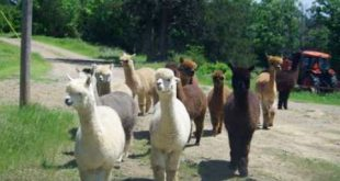 Alpacas out my window